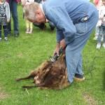 schapen scheren 24-6-2015 006