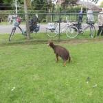 schapen scheren 24-6-2015 010